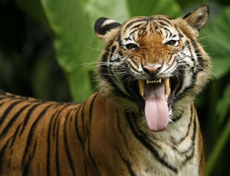 Malaysia, the Islamic Council issues a fatwa against poachers