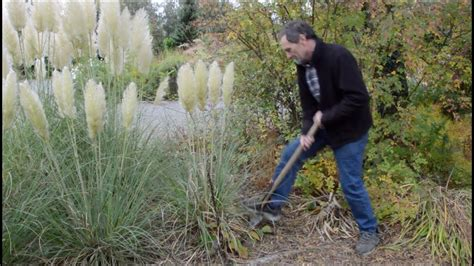 How To Move Pampas Grass in Full Flower - YouTube