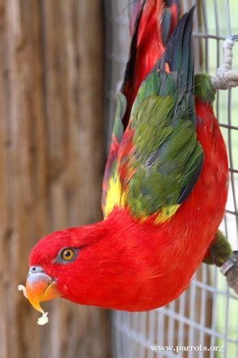 Chattering Lory | World Parrot Trust