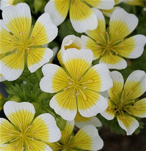"Limnanthes douglasii ""Meadow Foam"" - Buy Online at Annie's"
