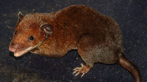 New Redheaded Opossum Named After Magical Gnome - National
