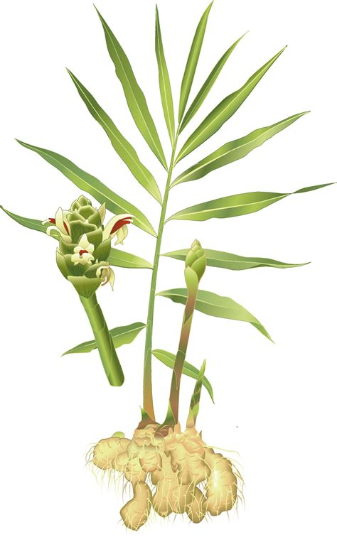 Ginger plant clipart - Clipground