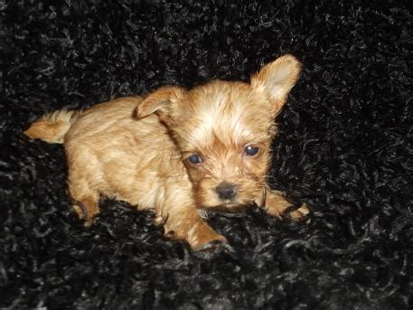 golddust york, york, golden yorkshire terrier | yorkshire