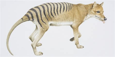 Is Tasmanian Tiger Really Extinct? Zoologists Have Their